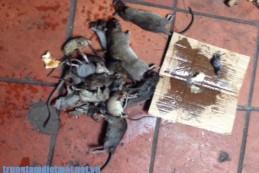 Diệt chuột tại Yên Bái – Dịch vụ diệt chuột tận gốc