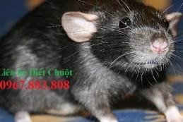 Diệt chuột tại Lào Cai – Dịch vụ diệt chuột tận gốc tại nhà