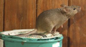 Dịch vụ diệt chuột hiệu quả TP.HCM