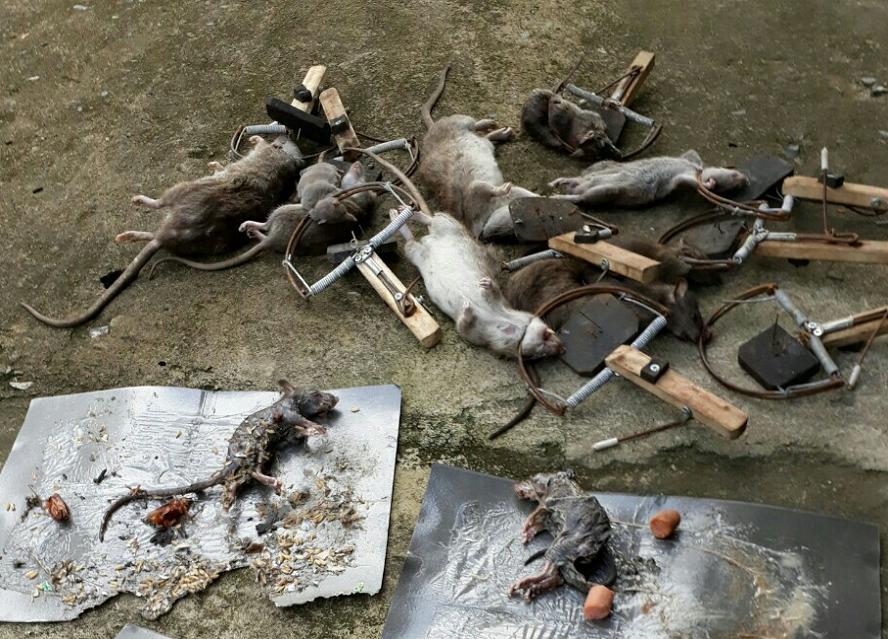 Công ty diệt chuột hiệu quả Quảng Nam