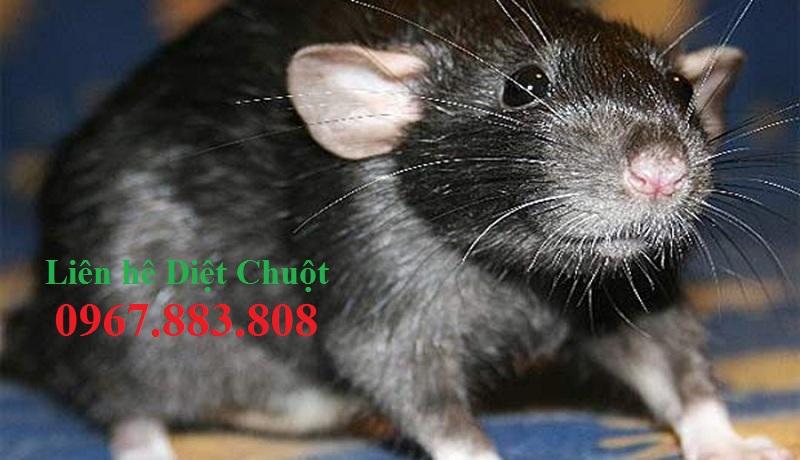Đơn vị diệt chuột hiệu quả Kiên Giang