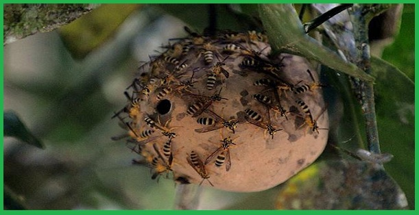 Dịch vụ diệt bắt tổ ong tại Hà Nội